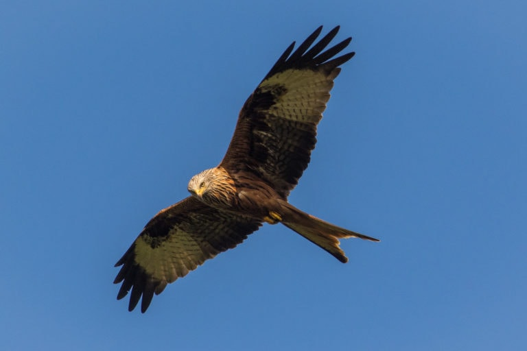 Red Kite bird in flight against a blue sky